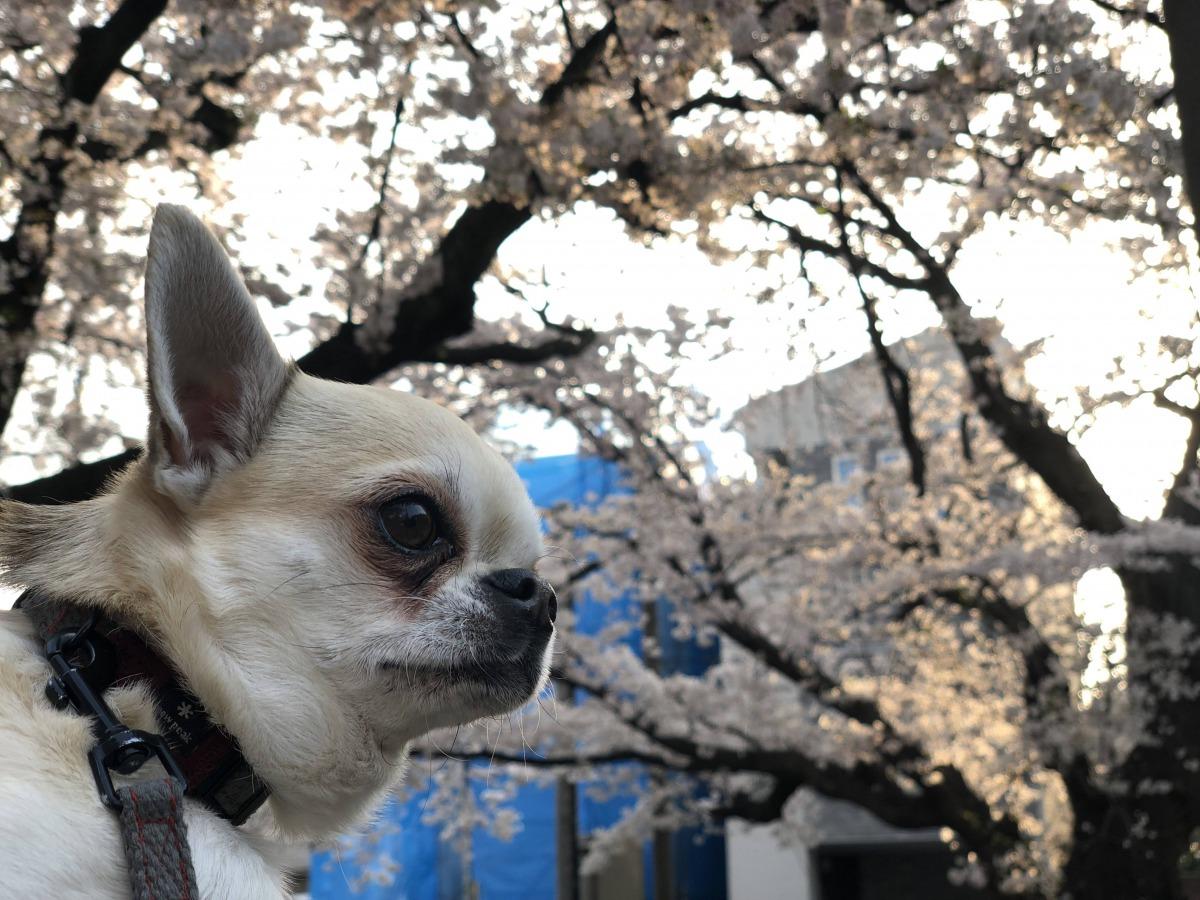 犬も花粉症になる?ワンちゃん痒そうにしていませんか?